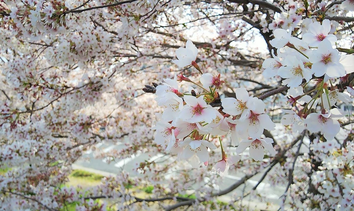 東広島市の桜満開の写真