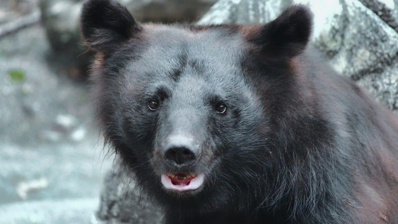 熊くまクマが出没